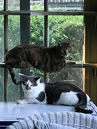 Tamar cats